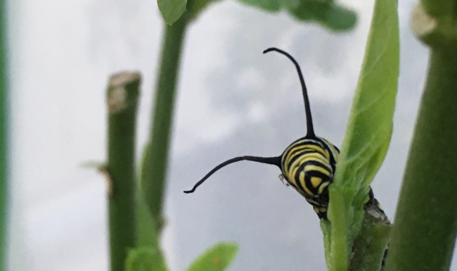 Hungry Monarch Caterpillar Eating Milkweed