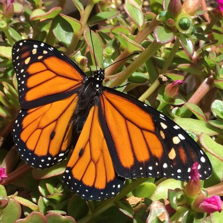 monarch butterfly open his wings